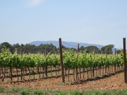 cava vines