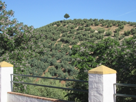 Always loved the lone pine above the olives